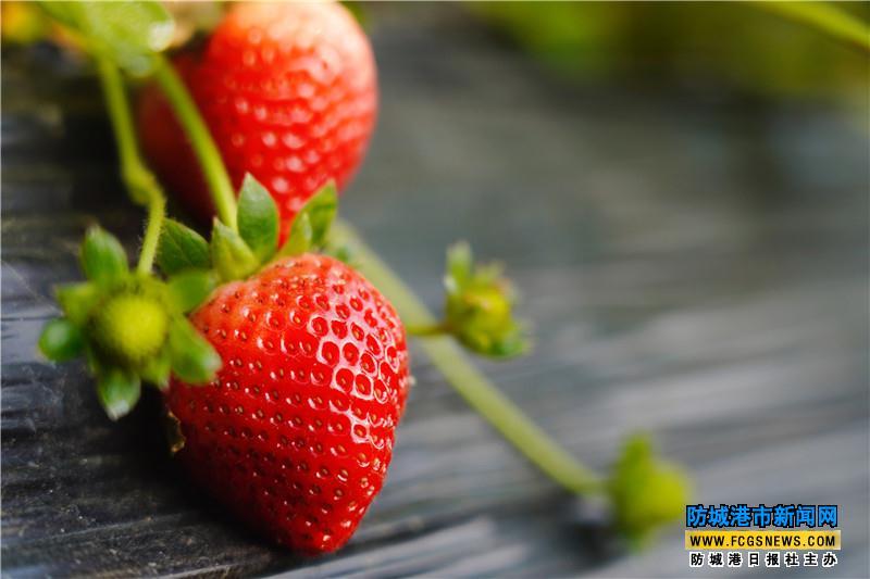 草莓红了 日子更甜了